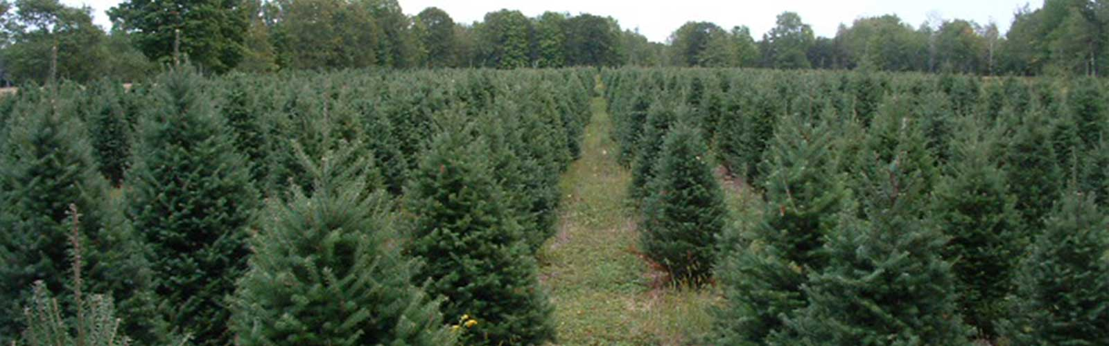 We offer Fresh Christmas Trees of all varieties, including Balsam Fir, Fraser Fir, Canaan Fir, Spruces and Pines.